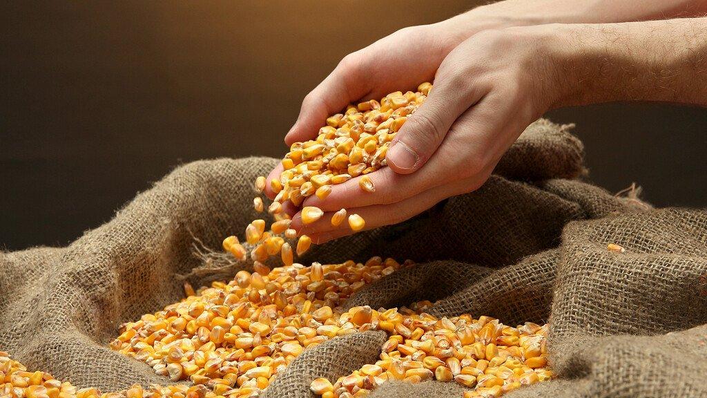 Mais Sponcio e altri tipi di mais bellunese - cover