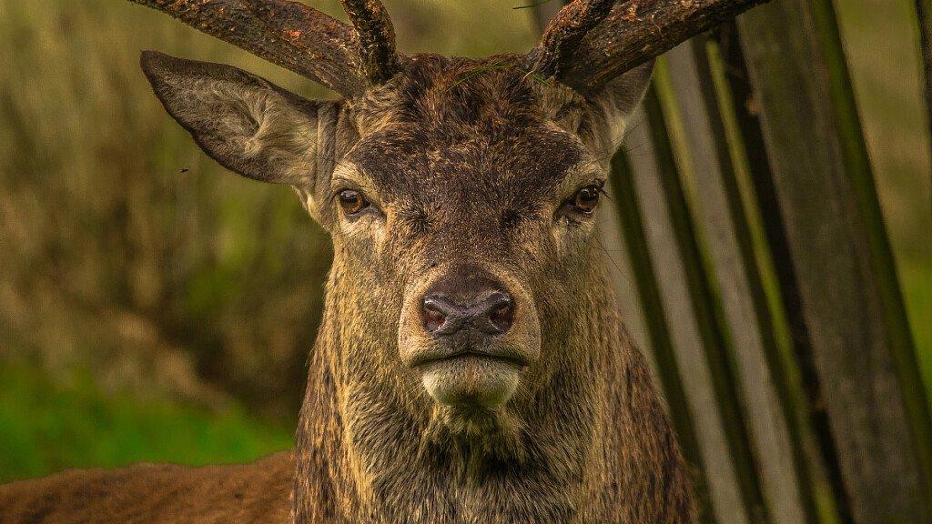 Grandi mammiferi: cervo, daino e camosci - cover