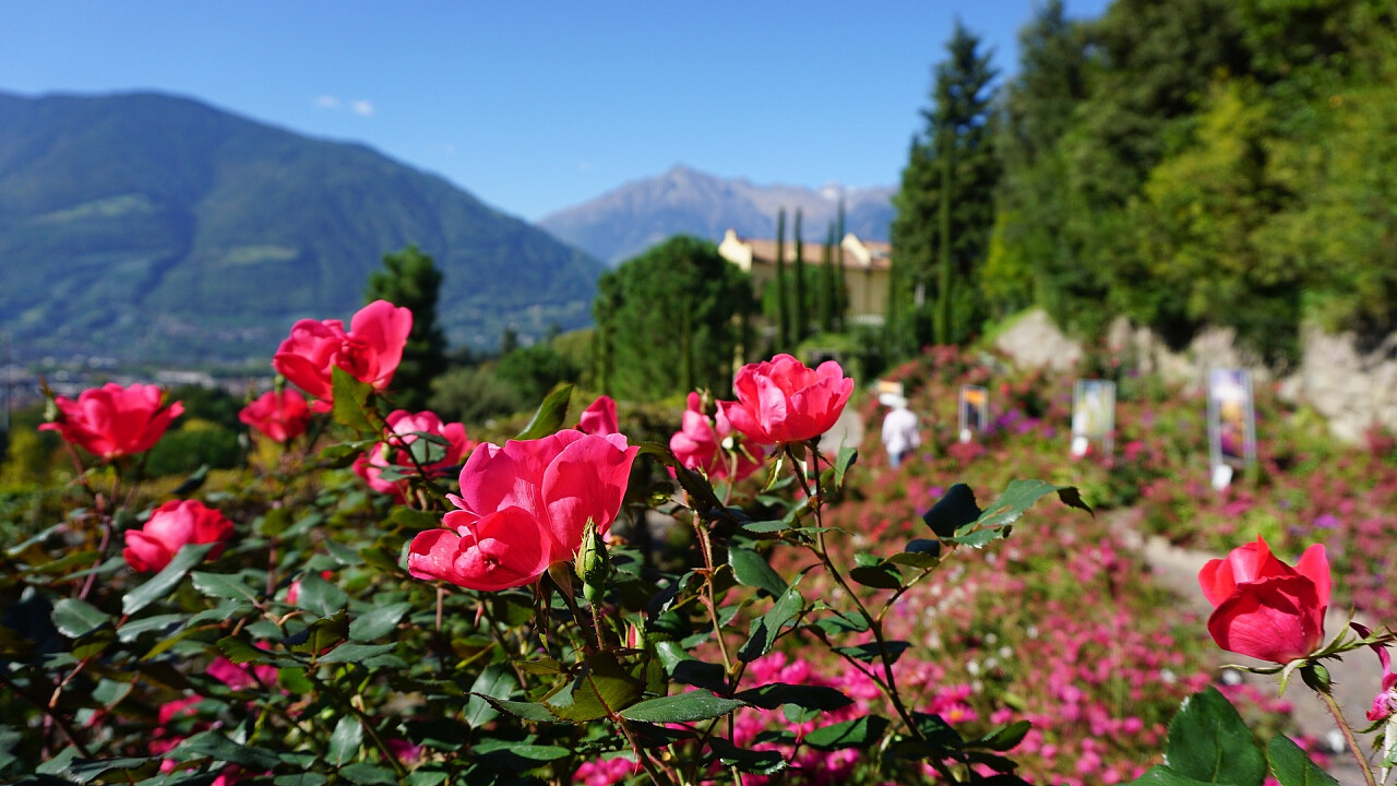 Pink flowers in Merano