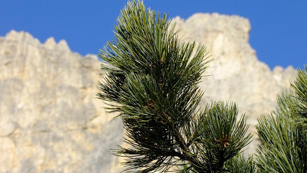 Il legno di pino cembro o cirmolo - cover