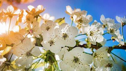 Festa dei meli in fiore - cover