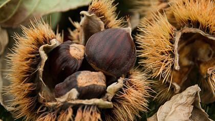 Keschtnigl - Weeks of the chestnut - cover