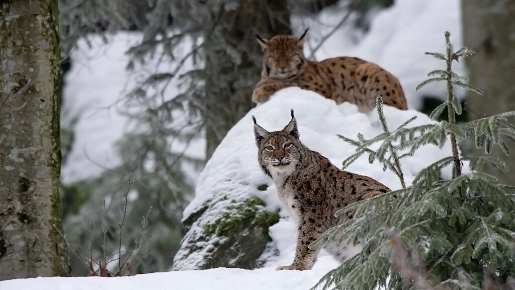 The Lynx in the Belluno Dolomites National Park - cover