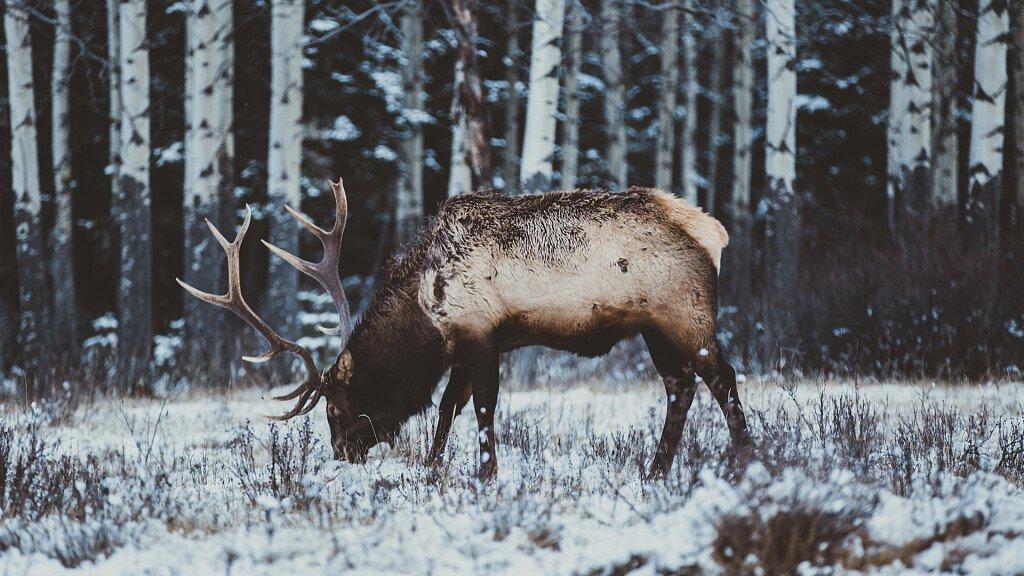Dove ascoltare il bramito dei cervi nelle Dolomiti - cover