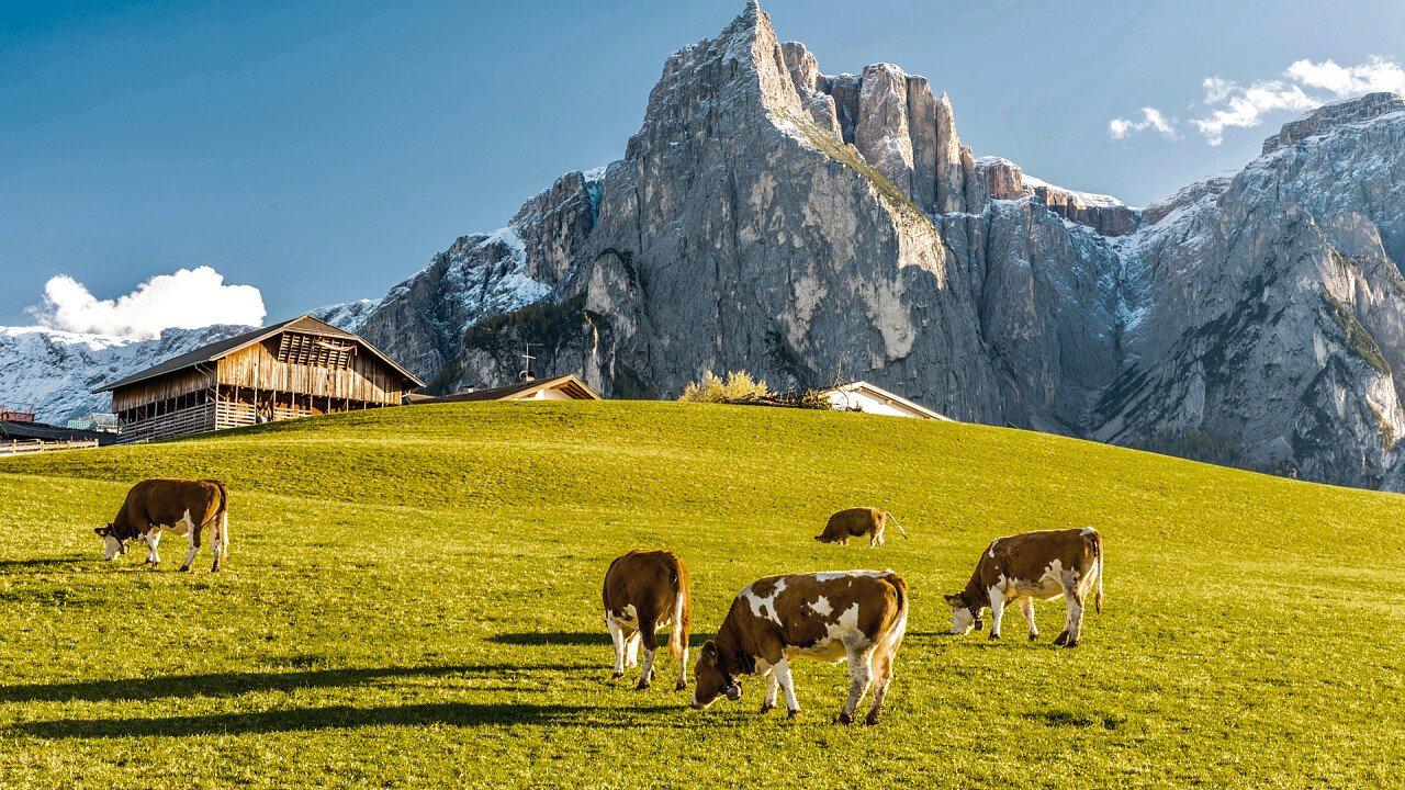 Kühe weiden Seis am Schlern