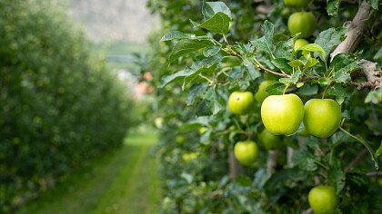 Apples in Lasa