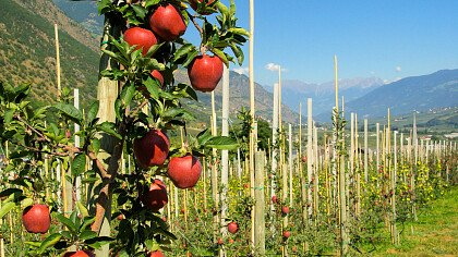 Apfelplantagen in Rumo - Le Maddalene