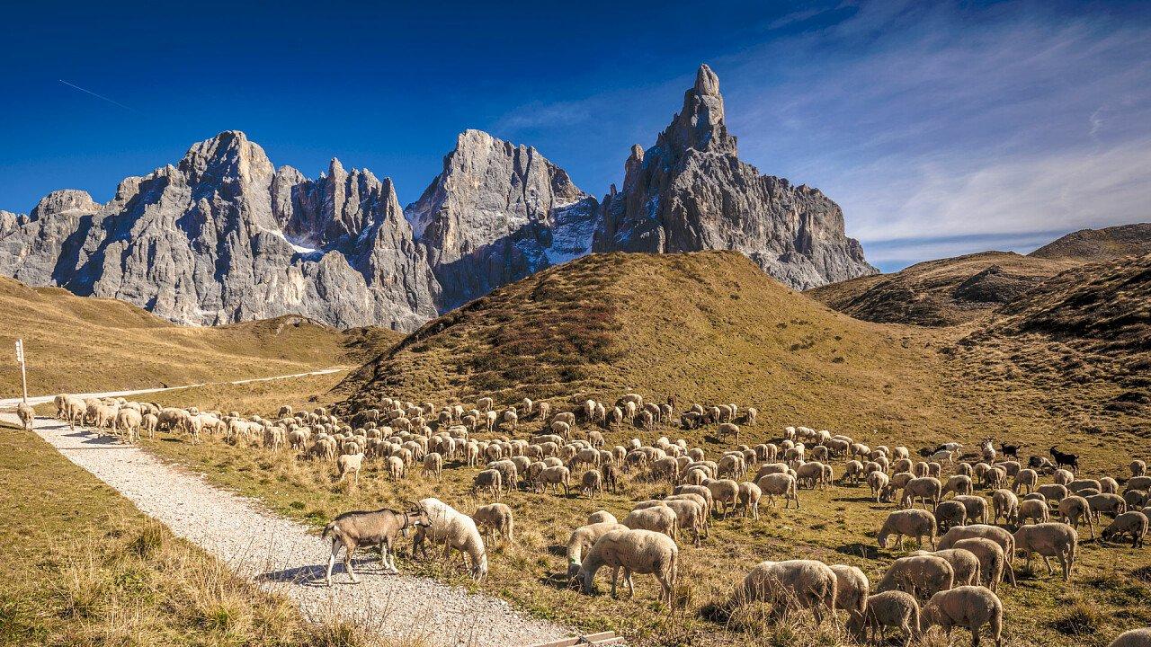 pecore_al_passo_rolle_dreamstime_gualtiero_boffi