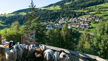 pecore_panorama_estate_san_pitro_di_laion_apt_val_di_funes