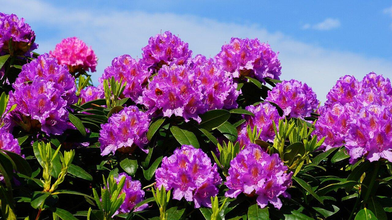 fiori_viola_primavera_pixabay_kapa65
