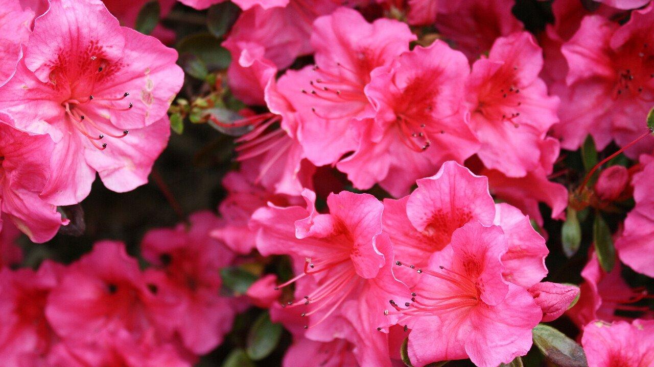 rododendri_pixabay_solarita.jpg