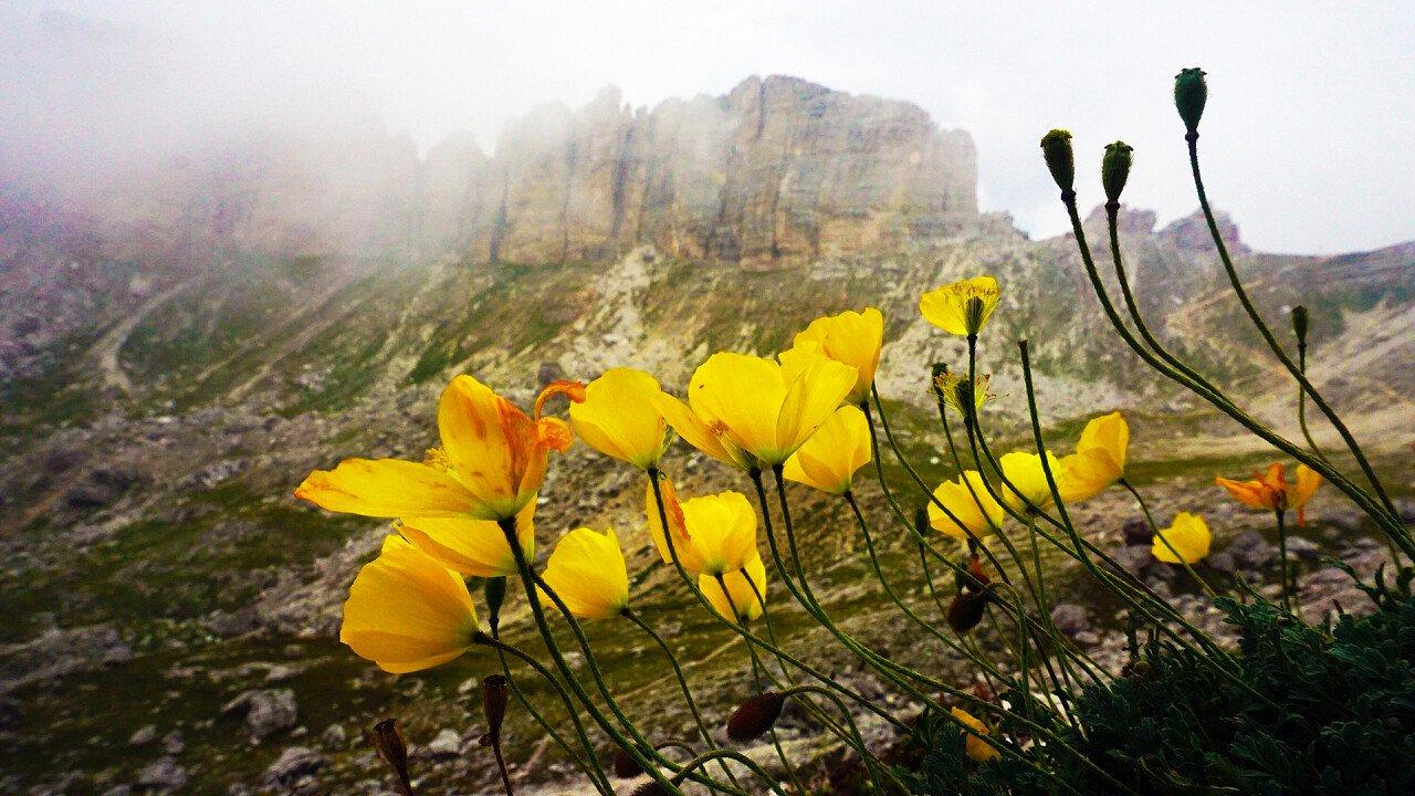 papavero_giallo_montagna_pixabay_rottonara