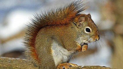 scoiattolo_pixabay_631372