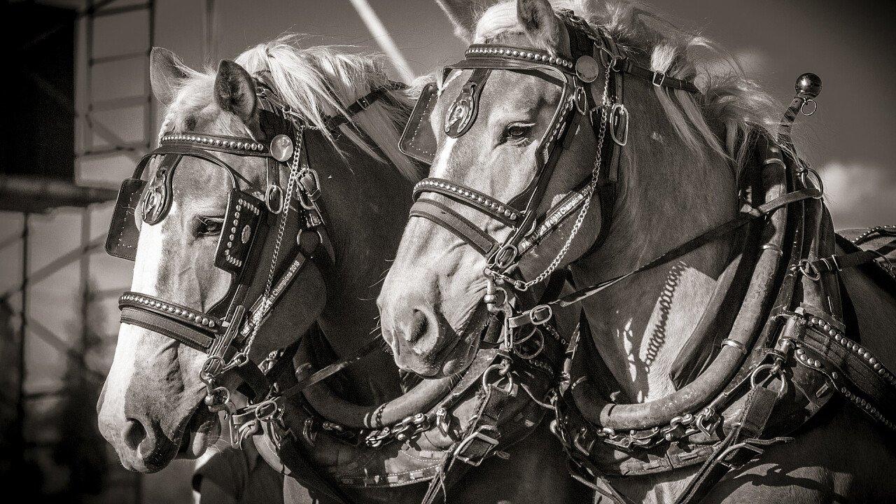 cavalli_per_equitazione_pixabay_wild0ne