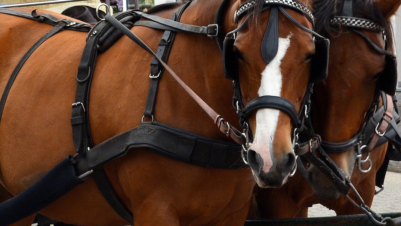 coppia_cavalli_equitazione_pixabay_detmold