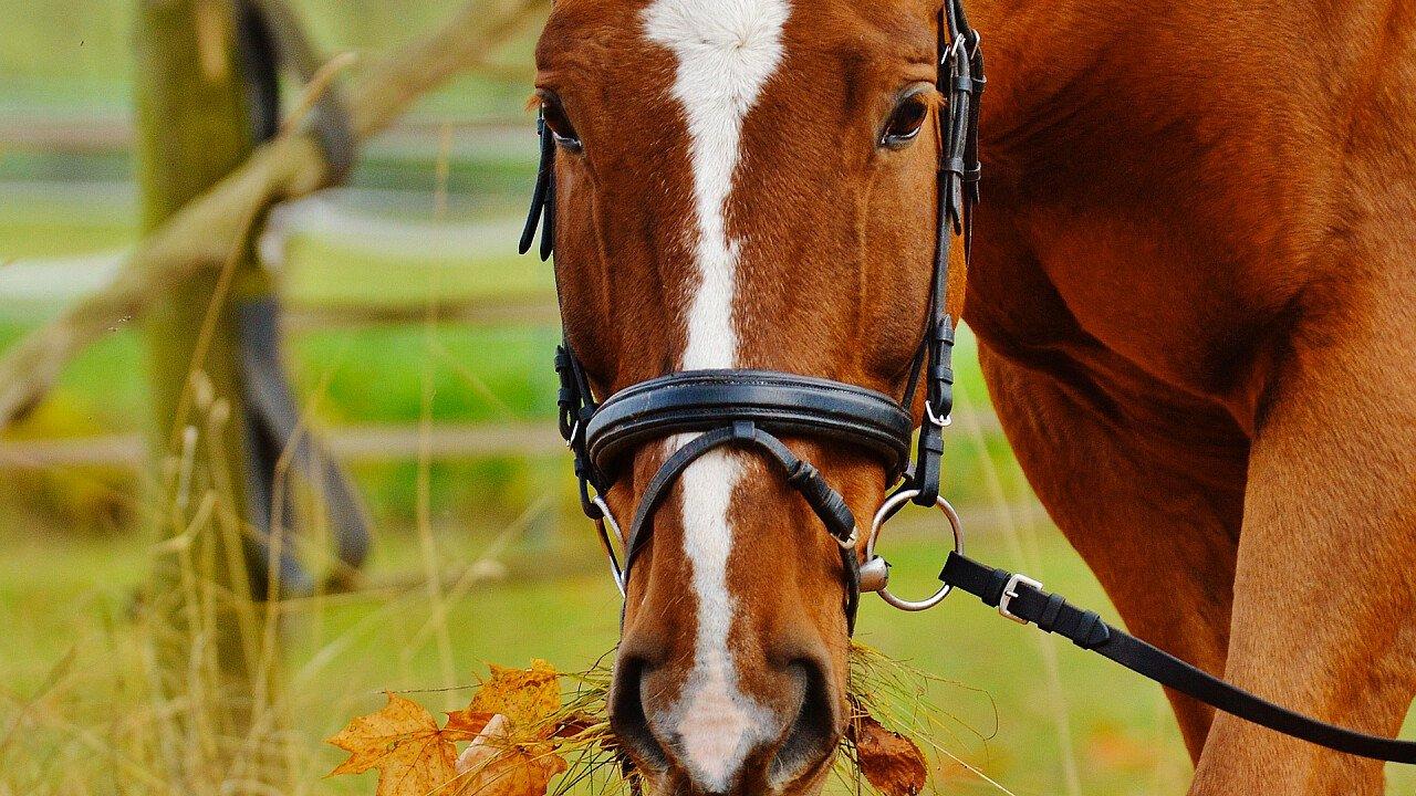 cavallo_da_corsa_pixabay_alexas_fotos