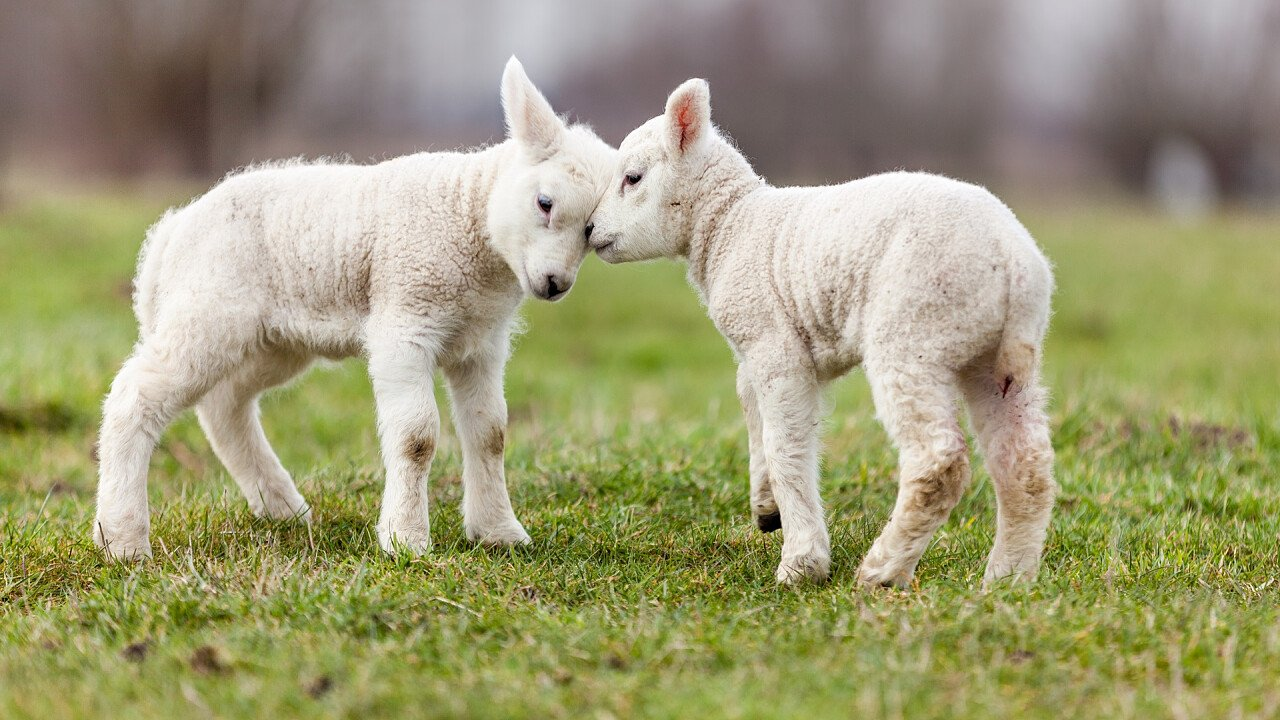 Lambs in the mountains